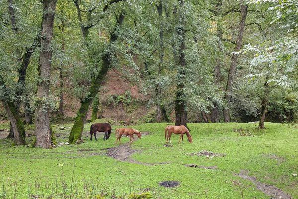 iranian wild horses