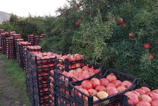 pomegranate harvest iran