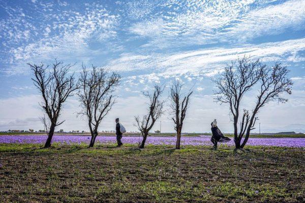 Saffron-farms-syi