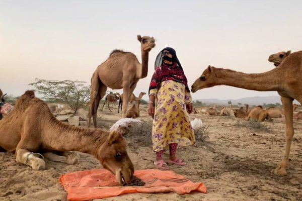 camel-qeshm-island
