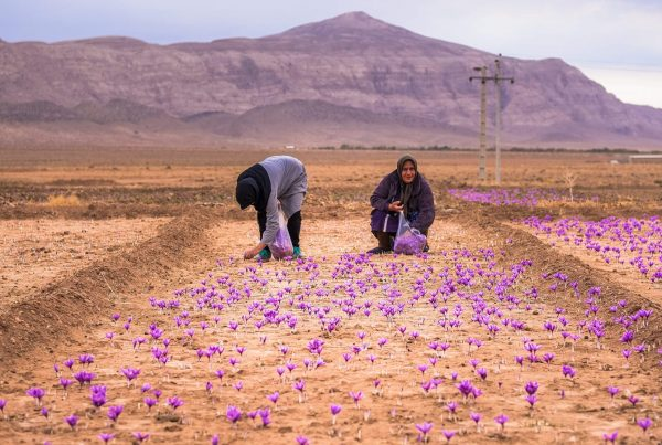 saffron-kerman-syi